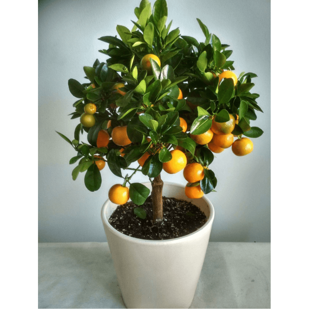 Citrus - An outdoor plant in a ceramic pot. Height 0.50cm