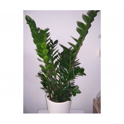 Big Zamia Great green zamia in a white ceramic pot!