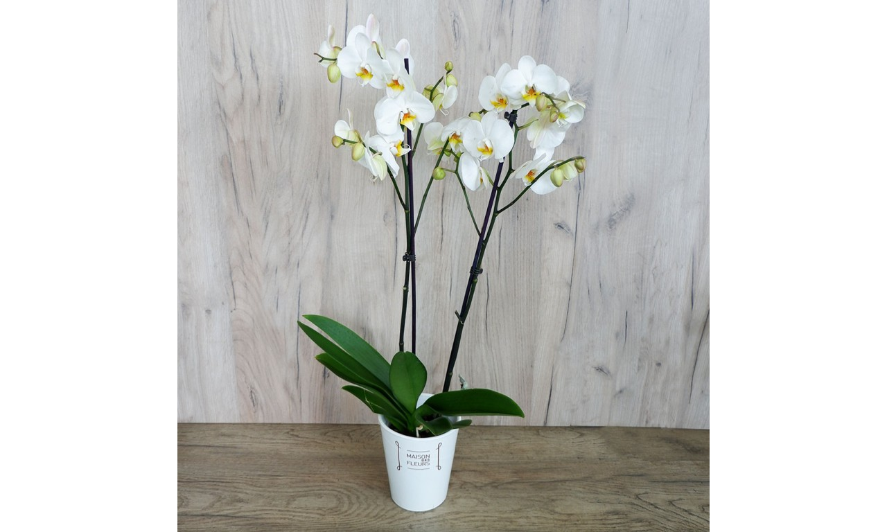 Phalaenopsis - Orchid Phalaenopsis in a pot.3 colours -White, Lila & purple!