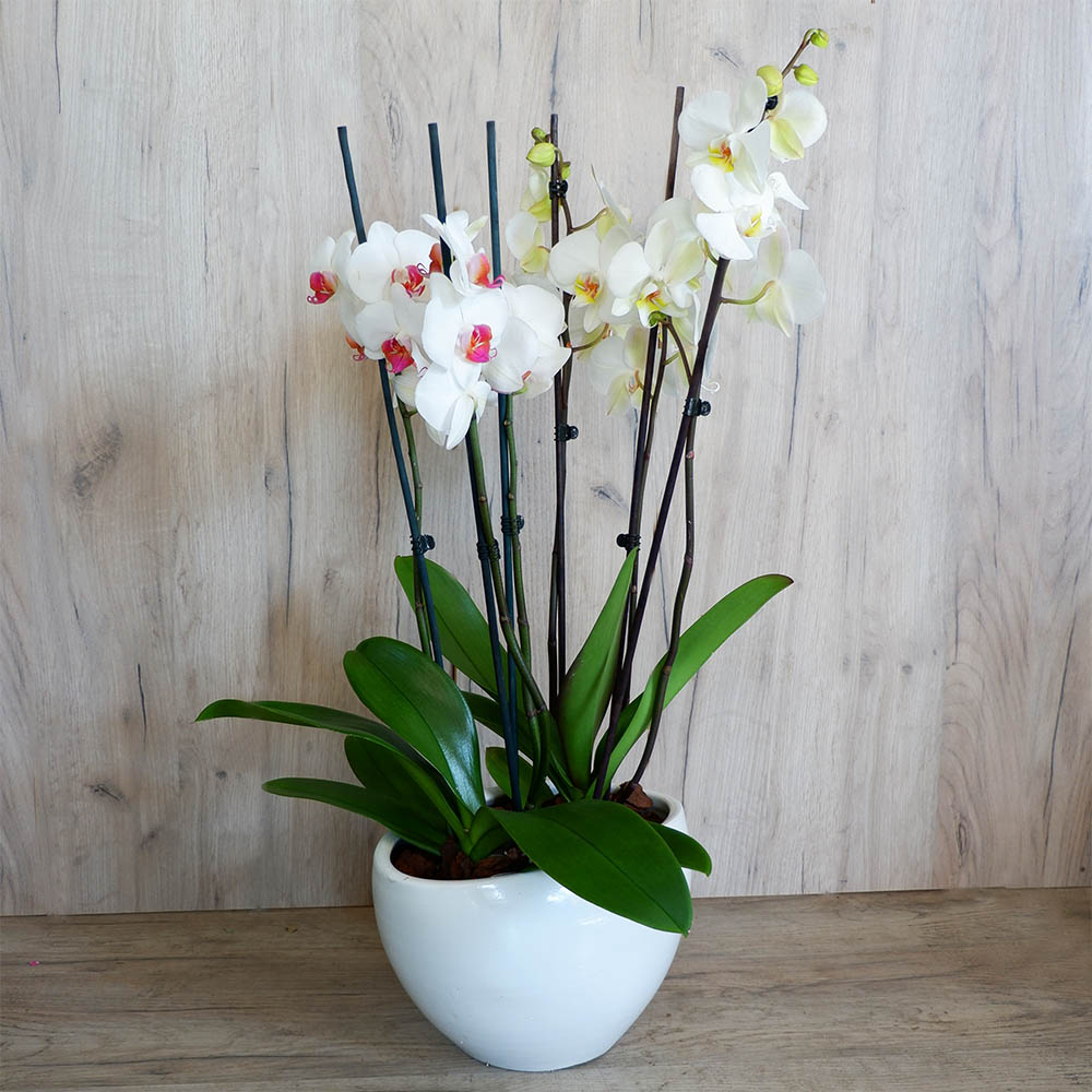 Δύο Τριπλές Ορχιδέες Phalaenopsis