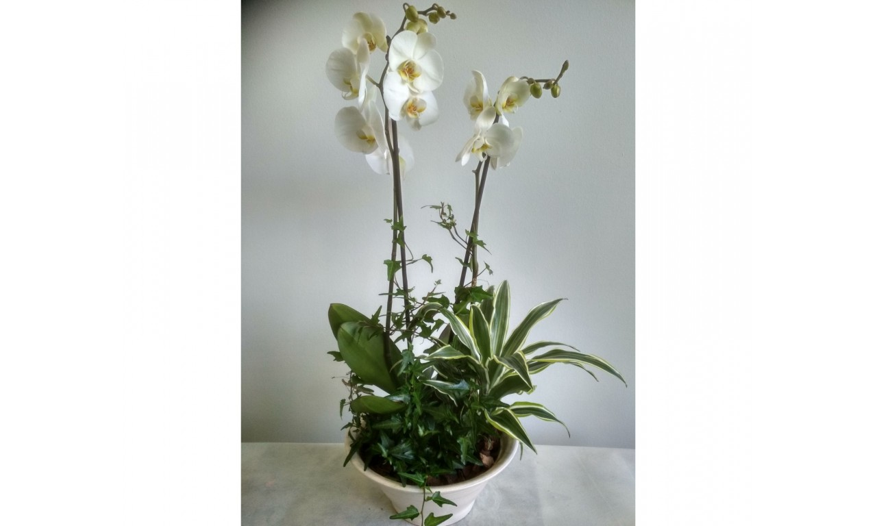 Small Orchid Composition - Small Composition with orchid Phalaenopsis and various small plants in a ceramic pot!