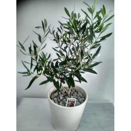 Olive - Small olive plant in a white pot!