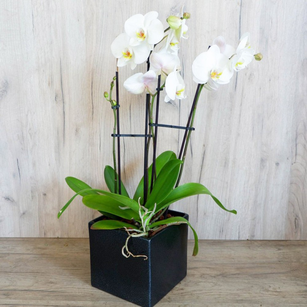 Διπλή Ορχιδέα Phalaenopsis