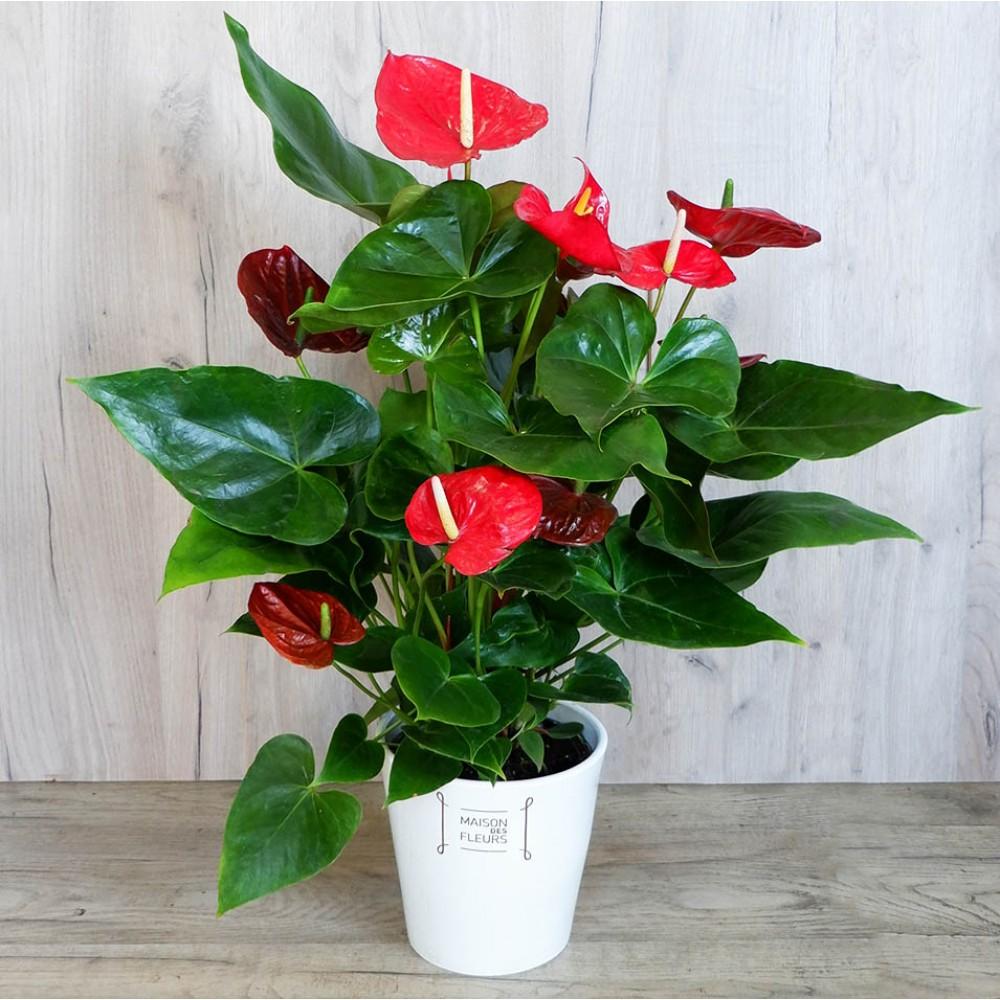 Big Anthurium  - Anthurium in a ceramic pot with impressive red flowers!
