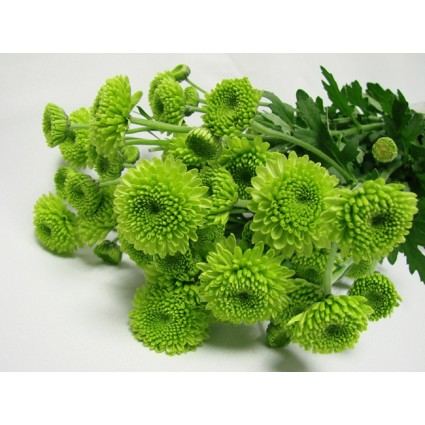 Green Chrysanthemum - Create your own bouquet with Green Chrysanthemums!