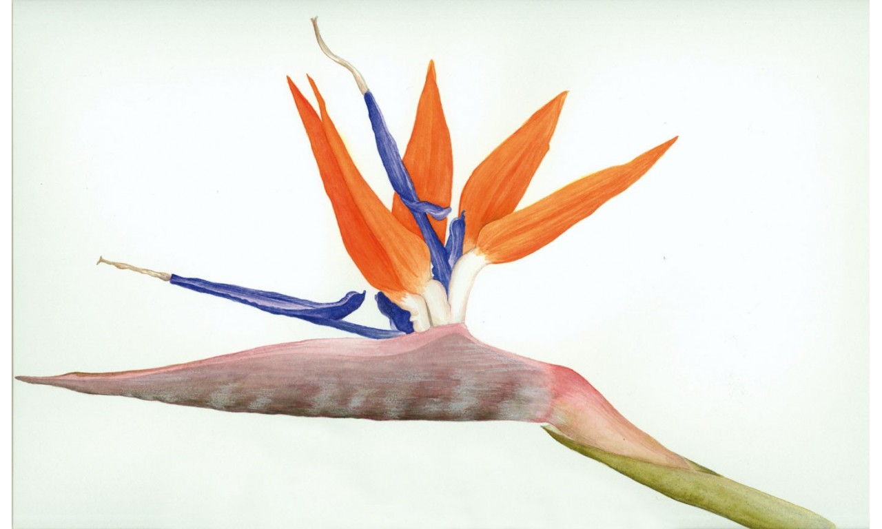 Strelitzia - Create your own bouquet with Strelitzias!