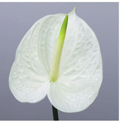 White Anthurium - Create your own bouquet with White Anthuriums!