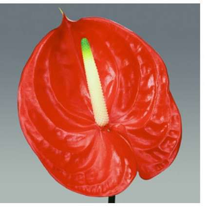 Red Anthurium - Create your own bouquet with Red Anthuriums!
