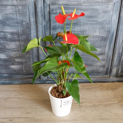 Anthurium - Small anthurium in a white pot!
